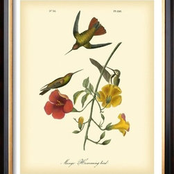 Artcom - Mango Hummingbird by John James Audubon - Mango Hummingbird by John James Audubon is a Framed Art Print set with a COVENTRY Black wood frame.