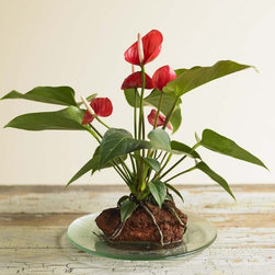 Anthurium Hawaiian Volcano Plant - What a cool plant! I have always loved Anthurium but this is a totally unique way to present it. I like how it brings the plant back to its volcanic Hawaiian roots.