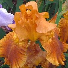 Traditional  Bearded Iris Chelsea Flower Show 2010