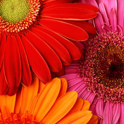 Murals Your Way - Colorful Gerbera Daisies Wall Art - Photographed by Danny Burk, the Colorful Gerbera Daisies wall mural from Murals Your Way will add a distinctive touch to any room