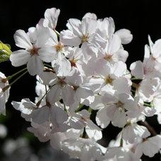 Practical spring-flowering trees