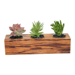 MODgreen - Crassulas and Graptosedum - Exotic Hardwood Potted Cactus and Succulents - We have made this planter using a piece of Exotic Marblewood (Zygia racemosun) which is native to the Northeastern South America region. We have selected a beautiful graposedum, a Crassula 'Campfire' and a popular compact crassula 'Gollum' to present you with a nice overall planter for your decoration. Place indoors under bright light. Water only twice a month and avoid spilling when watering. Tung oil or beeswax will help extend the lifespan of your planter and maintain a shiny look.