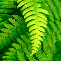 PrintedArt - Intertwined Ferns - Print is made with archival pigment inks for best color saturation and contrast with a 75-year guarantee against fading or discoloring. Mounted on light-weight but rigid aluminum dibond board to create a float-on-the-wall piece of art. Also available face-mounted with acrylic.