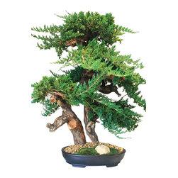 "36"" Monterey Bonsai - Beautiful preserved juniper artfully sculpted onto grapewood creates this stunning bonsai.  Stands 36"" Tall"