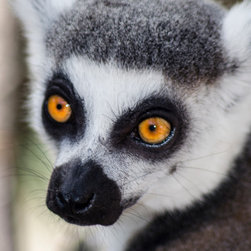 Animals - this sweet ,adorable lemur,who is part of the primate family,is too charming to not want to photograph
