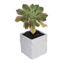 "MODgreen - Aeonium s. - 4"" Ceramic Potted Cactus and Succulents - The beautiful contrasts of colors presented in the rosette of this plant native from the Canary Islands are very unique and elegant. Water once a month and place under bright light. Since this aeonium becomes dormant in summer reduce watering during that period. With this design MODgreen has put a new twist to the standard ceramic cube planter by giving them a corrugated texture that make these beautiful pots stand out above the rest."