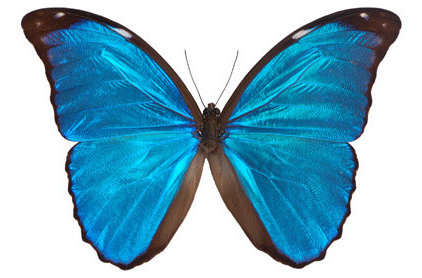 eclectic accessories and decor Morpho Butterfly