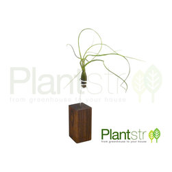 Exotica Petite Domestic and Exotic hardwood stands mounted with air plants -