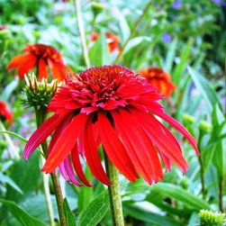 Coneflower - Hot Papaya -