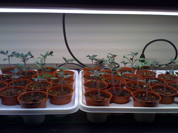 Baby tomatoes in seed-starting trays