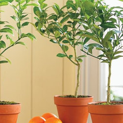 Blood Orange Tree - Bring spring indoors with a real blood orange tree in your kitchen or sun room