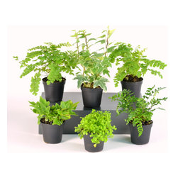 H Potter - Terrarium Plants - Show off your green thumb with these varied plants. They're perfectly sized for tabletop terrariums or as filler plants for larger containers.
