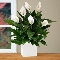 Premium Sympathy Peace Lily in Large White Tin - If you don't have much of a green thumb, a peace lily is a great indoor plant option. It's really easy to take care of, and its leaves are a particularly lovely, shiny shade of green.