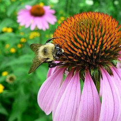 Purple Coneflower Seeds - Purple coneflower (Echinacea purpurea, zones 3 to 8) is an absolute must. There are so many cool varieties to choose from, and they are all pretty easy to grow.