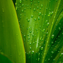"Douglas Page Photographic Arts - After The Rain - Metallic Canvas Giclee, 32"" X 48"" - This fine art color photograph on metallic canvas, by photographic artist Douglas Page, captures the lushness of a Ti leaf in a Hawaiian jungle after a rain."