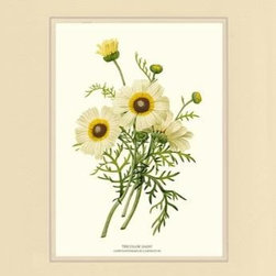 Tricolor Daisy Flower Botanical Print - 11x14 Print - 16x20 Cream/Cream Mat - Vintage style botanical flower art print from turn of the 19th century illustrations.