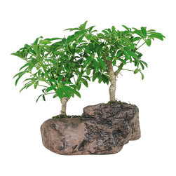 Brussel's Bonsai - Hawaiian Umbrella Bonsai Tree In Rock Pot - Bring the tropics to the office with this tiny Hawaiian umbrella tree. It does especially well in indoor areas with indirect light so it's perfect for a cubicle or small office. Just be sure to water gently as to not disturb the topsoil in the pot.