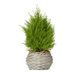 Lemon Cypress Cone - A little of nature's greenery breathes fresh air into any space.