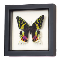 Bug Under Glass - Madagascan Sunset Moth - A vibrant Madagascan moth is perfectly preserved in this museum shadowbox. Hang it above your workspace and let its brilliant palette of oranges, yellows, pinks and purples take you back to that tropical vacation sunset.