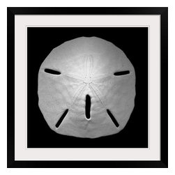 """Framed Black & White Photo of Sand Dollar - Pretty framed photo of sand dollar.  Other complementary shells listed.  Makes a nice grouping. Prints are framed behind a plexiglass cover within a 1.5"""" black wooden frame and are double white matted at 2.5""""."""