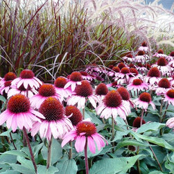 Coneflower - Ruby Star -