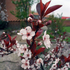 Purple sand cherry (Prunus x cistena)