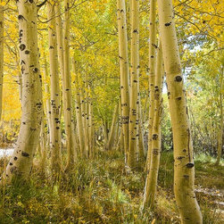 Magic Murals - Aspen Tree Grove in Autumn Wallpaper Wall Mural - Self-Adhesive - Multiple Sizes - Aspen Tree Grove in Autumn Wall Mural