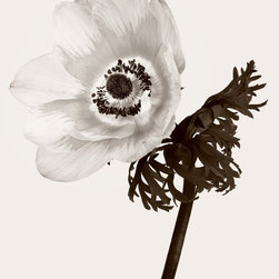 "Anemone No. 12, Limited Edition, Photograph - ""Anemone No. 12"".  Sepia toned black and white fine art photography giclee print. Printed with fine art archival pigment inks on heavyweight museum quality archival paper. Signed and numbered by the artist. Limited Edition of 100. Dimensions refer to actual image size. Paper size is larger, with a white border on all sides to facilitate matting and framing, as well as to protect the image area when handling the print."
