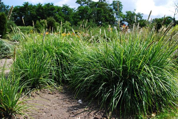 Autumn moor grass (Sesleria autumnalis)