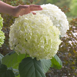 Incrediball® Smooth Hydrangea - Close up of Incrediball®