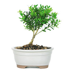 Brussel's Bonsai - Harland Boxwood Bonsai Tree - The timeless Harland Boxwood makes for an elegant bonsai tree both indoors and out. The classic leaves cluster above a delicate trunk and provide the perfect pop of green for any setting. Just be sure to water it gently so as not to disturb its topsoil.