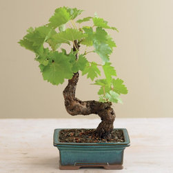 Grapevine Bonsai - Bonsai trees are an ancient tradition. This one is cool because it's a grapevine. I love the idea of growing your own design to enhance your decor.
