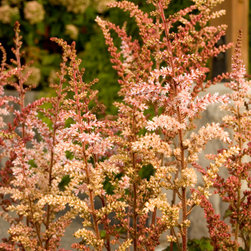 Color Flash® Astilbe - Photo By Doreen Wynja © EyeoftheLady.com