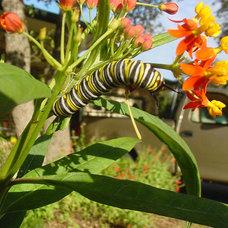 Photo from http://welovebutterflies.com/wp-content/uploads/2010/10/Milkweed-Butt
