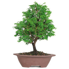 Asian Plants by Brussel's Bonsai