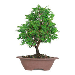 Dwarf Hinoki Cypress Bonsai Tree