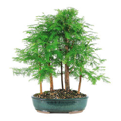 Dawn Redwood Grove Bonsai Tree,  5 Tree