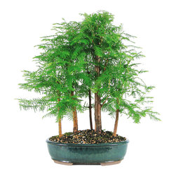 Brussel's Bonsai - Dawn Redwood Grove 5-Tree Bonsai - Well, if you can't get to the redwoods for a hike, why not bring the forest home? This little grove does well outside in temperatures above 20 degrees. Keep it on your patio and enjoy the ancient beauty of the forests in miniature form.