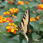 Lantana Star Landing - The ever hardy Lantana with orange-red and yellow flowers steadily blooms the whole season. You'll have a huge mound of it before you know it, plus it's deer resistant. Pictured is a cultivar called 'Star Landing' (Lantana camara L.)