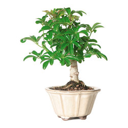 Brussel's Bonsai - Dwarf Hawaiian Umbrella Tree Bonsai Tree,  Small - With glossy, bright green leaves, the dwarf Hawaiian umbrella will make a beautiful accent in your home. Plus, it's relatively easy to nurture, even without direct sunlight, so it's an ideal beginner's bonsai.
