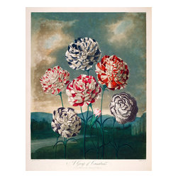 A Group of Carnations Print - Robert John Thornton,A Group of Carnations from the The Temple of Flora folio published in London between 1777 and 1807 as aAquatint and mezzotint with stipple engravings and completed by hand.Original work printed at 17 1/4 x 13 1/2 in. (438 x 343 mm.)