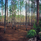 Pine Forest II. Split Oak. - Pine flatwoods occupy about half of the total land area of Florida. Undisturbed areas tend to have an open understory composed of palmettos and shrubs such as Wax Myrtle and Tar Flower. A slight drop in elevation created the cypress swamp seen in the background. Split Oak Forest contains many ecosystems within it's 2,000 acre boundaries including oak hammocks, prairie, cypress domes, and pine forest. A variety of wildlife can also be found including deer, armadillo, and many species of birds. The area has been set aside as a sanctuary for the gopher tortoise, a threatened species.