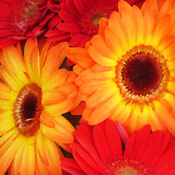 Red and Orange Gerber Daisies - Add a splash of color with this colorful bold print of brightly lit orange and red gerber daisies. My digital art is created in Photo Shop from my photographs, then manipulated and painted in Photo Shop. Digital Art Prints available on paper, canvas, metal and acrylic. Different sizes, proportions and panels available upon request. Print prices start at $18.00.