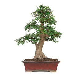 15-year Chinese Elm Outdoor Bonsai Tree - Age: 15 yrs