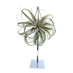LushModern - Aerophyte Diva Statue - Shake things up among your houseplants with this beguiling newcomer. The exotic, low-maintenance marvel is a living work of art that dangles airily from its own chrome stand.