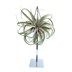 LushModern - Aerophyte Diva Statue Air Plant - Shake things up among your houseplants with this beguiling newcomer. The exotic, low-maintenance marvel is a living work of art that dangles airily from its own chrome stand.