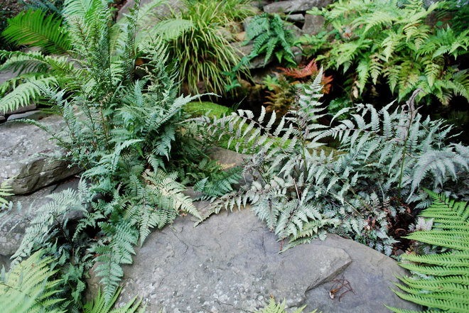 Landscaping With Ferns : Great design plant japanese painted fern weaves a garden