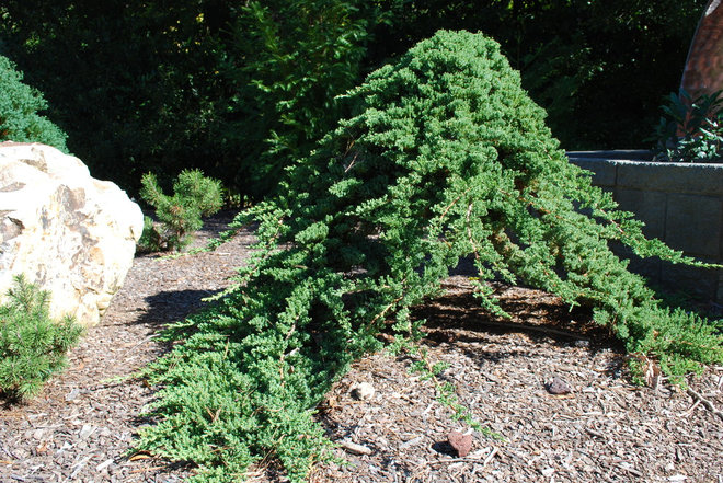 These Arent Your Grandparents Junipers