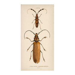 """Bug Plate 24 Art - 1.5"""" Canvas - The knobbed antennae and robust brown coloration of the long, narrow-winged insects sketched in Bug Plate 24 make the well-drawn pair a perfect choice for completing a neutral wall vignette - or for picking up the glow of stained woods with their rich woodland coloring. A parchment-colored background and written caption complete the naturalist inspirations."""