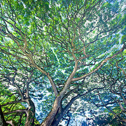 "Douglas Page Photographic Arts - Waimea Monkeypod - Canvas Giclee, 36""x24"" - This fine art photograph on canvas, by photographic artist Douglas Page, captures the magnitude and grandeur of an enormous monkeypod tree in the jungle in Waimea Valley on Oahu, Hawaii."